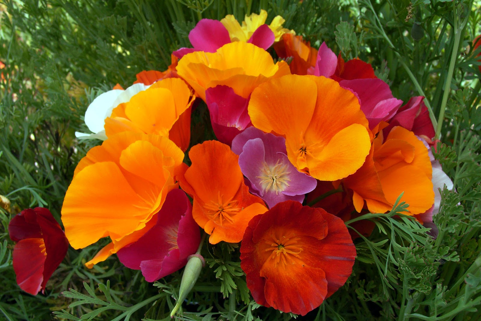 California Poppy Mix Eschscholzia Californica 2 Grams Flower Seeds