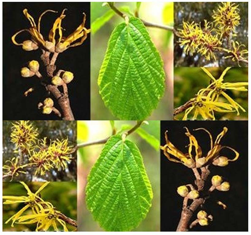 15 Witch Hazel Seeds Hamamelis Virginiana